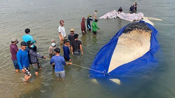 Bình Thuận: Cá ông dài hơn 15m lụy ngoài khơi