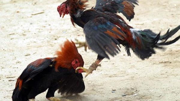 Bình Phước: Xóa tụ điểm đá gà ở Lộc Ninh