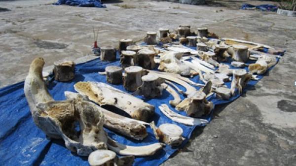Bình Thuận: Đình và Vạn Phước Lộc quy tập 2 bộ xương cá voi mới