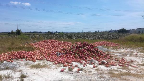 Bình Thuận: Vừa đổ bỏ vì không bán được, trái thanh long bắt đầu nhích giá