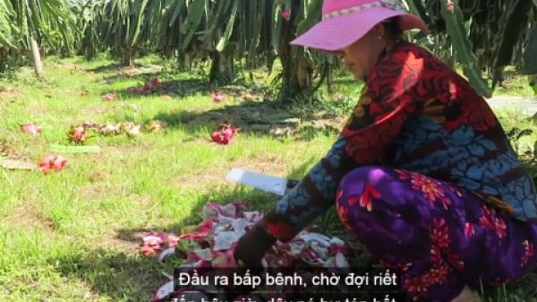 Bình Thuận: Sự thật clip nông dân trồng thanh long chặt bỏ trái