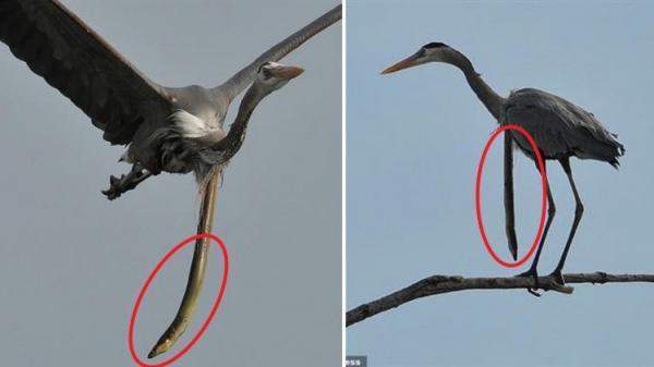 Cá chình rắn đục thủng họng chim diệc để thoát thân