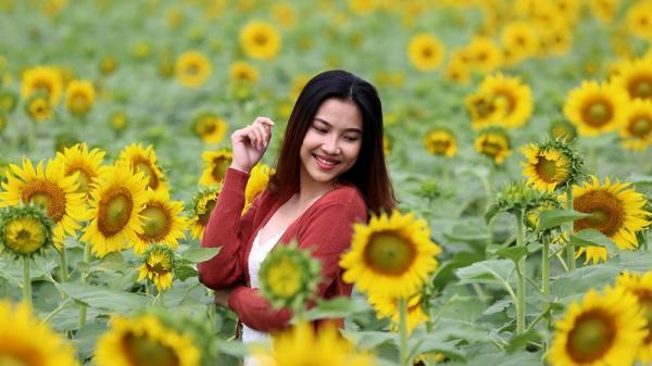 Giới trẻ TP.HCM đổ xô đến vườn hoa hướng dương khủng