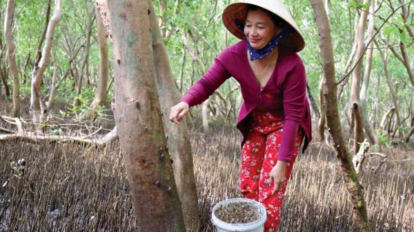 Cà Mau: Thả loài ốc leo cây trong rừng ngập nước, bán 100 ngàn/ký