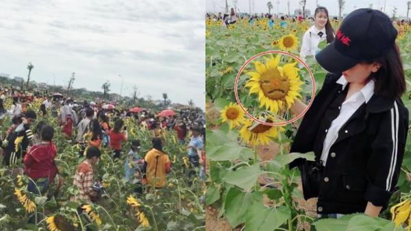 """""""Thảm họa"""" vườn hoa hướng dương Sài Gòn: Check-in """"1m vuông 5 người"""", bóc hạt trên hoa để tạo hình"""