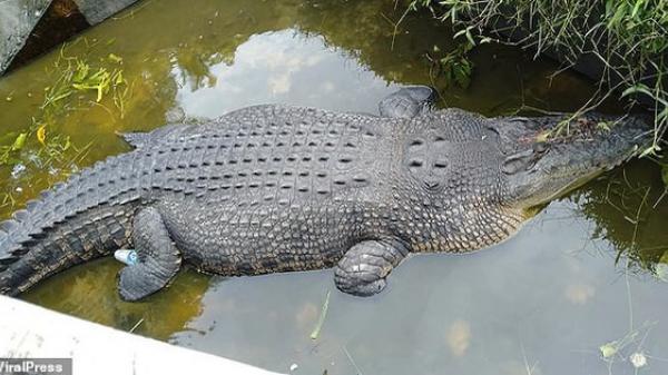 Cá sấu nhảy lên tường cao 2,5 m, g.iết c.hết nhà khoa học nữ