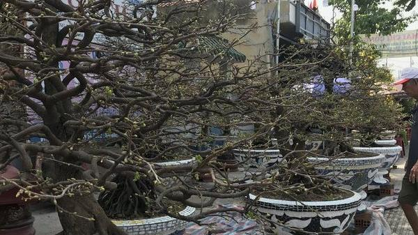 Clip: Chiêm ngưỡng gốc mai hàng trăm triệu chơi tết tại Sài thành