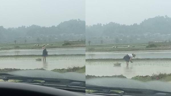Thai phụ bụng bầu vượt mặt vẫn phải còng lưng cấy lúa: Người thương cảm, người cho biết đó là chuyện thường thấy ở quê thôi