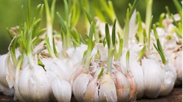 Hành, tỏi mọc mầm có độc không?