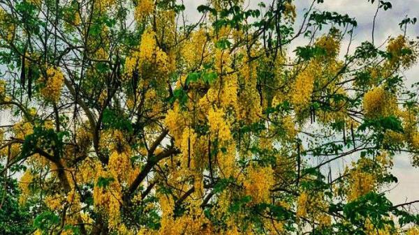 Sài Gòn tháng Tư rực rỡ sắc vàng của mùa hoa Osaka