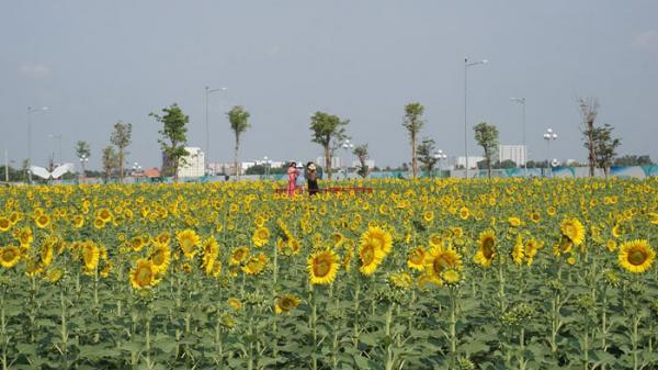 TP.HCM: Vườn hoa hướng dương gây sốt quay lại phục vụ du khách trong dịp lễ 30/4