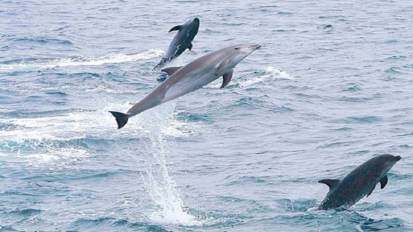 Đàn cá heo cực lớn xuất hiện ở Cà Mau