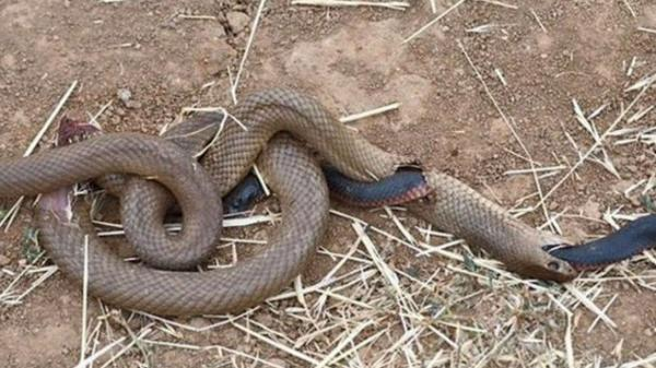 Đang nuốt dở con mồi, rắn nâu bị rắn đen 'đục thân' thoát ra ngoài ngoạn mục