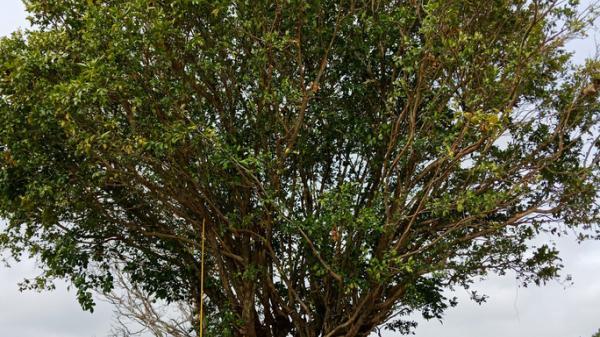 """""""Cụ"""" cây nguyệt quế và 2 cây gội được hét giá tới 700 triệu đồng"""