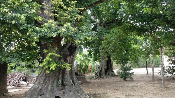 Cận cảnh 5 cây thị gần 700 tuổi buộc voi chiến của Quang Trung