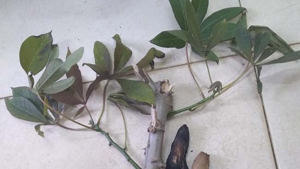 Ngộ độc sắn ở Lào Cai: 1 trẻ tử vong, 1 trẻ nhập viện