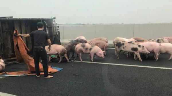 Lật xe tải chở lợn trên cao tốc: Người mải sửa xe, đàn lợn chạy tung tăng giữa đường