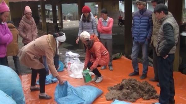 Cao Bằng: Áp dụng phương pháp mới làm thức ăn bổ sung cho trâu, bò