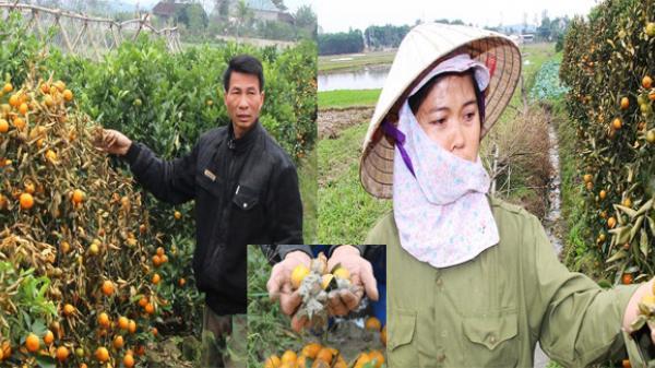 Tìm ra 4 nghi phạm vụ kẻ gian phá hoại hàng trăm cây quất Tết của nông dân nhờ bỏ phiếu kín