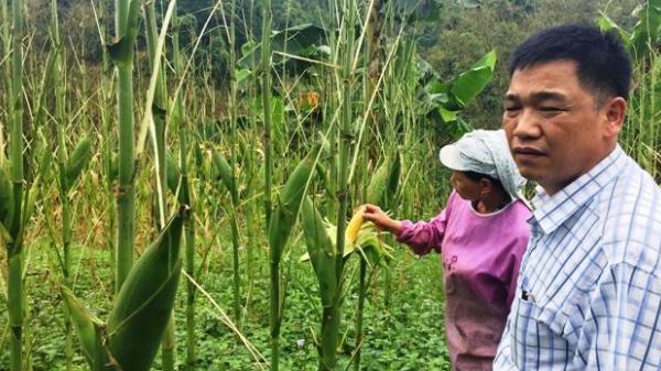 Bùng phát dịch cào cào ăn trụi ngô, mạ tại Cao Bằng