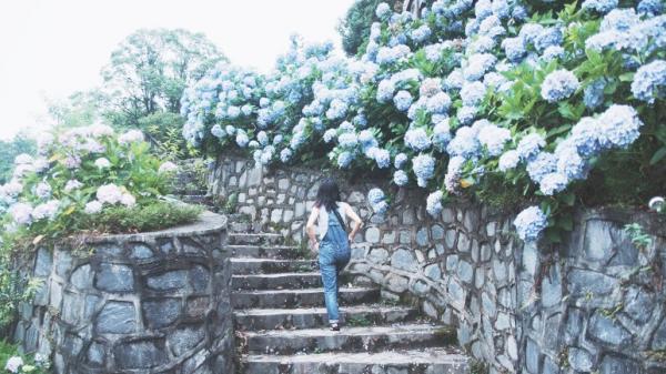 Cao Bằng: Ngắm vườn hoa Cẩm tú cầu rực rỡ trên rừng Phia Đén