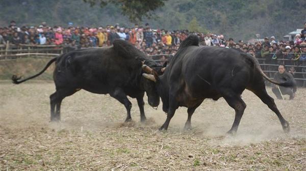 Người dân tưng bừng với lễ hội chọi bò Xuân đầy kịch tính ở Cao Bằng