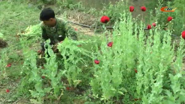 Cao Bằng: Đồn Biên phòng triệt phá gần 500 cây thuốc phiện