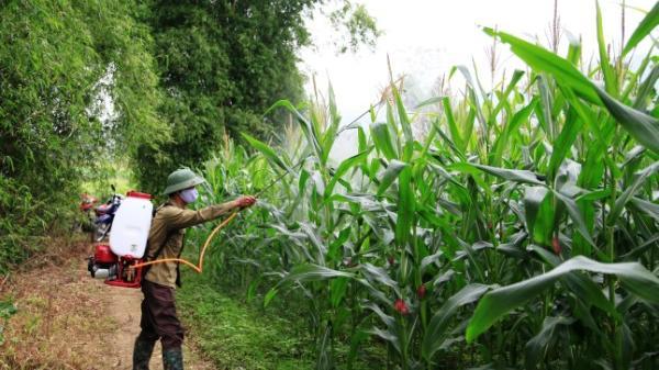 Biện pháp phòng trừ châu chấu gây hại cây trồng