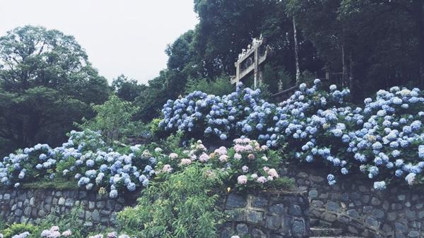 """""""Đứng ngồi không yên"""" với vườn hoa cẩm tú cầu đẹp đến ngây ngất ở ngay Cao Bằng"""