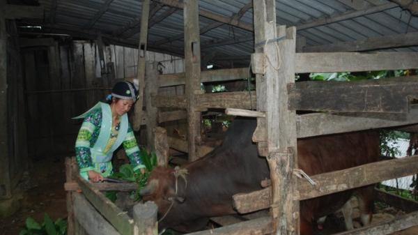 Cao Bằng: Kỹ thuật chăn nuôi bò vỗ béo giúp người dân thoát nghèo