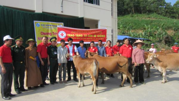 Hội chữ thập đỏ tặng 10 con bò cho phụ nữ nghèo biên giới Cao Bằng