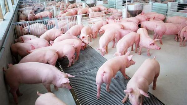 Giá lợn sau tăng nóng lại giảm chóng mặt