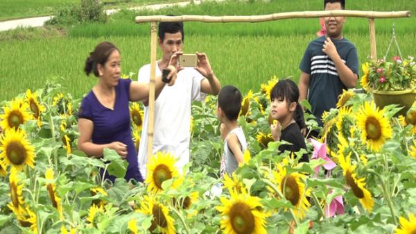 Đến ngay vườn hoa hướng dương ở Thái Nguyên, để không cần là nắng mà vẫn được chói chang