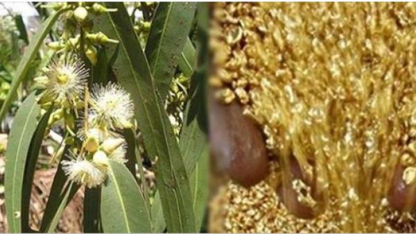 Bất ngờ phát hiện cây MỌC ra VÀNG đầy đường ở Việt Nam, kiếm bạc tỷ/ngày là chuyện đơn giản như muỗi!