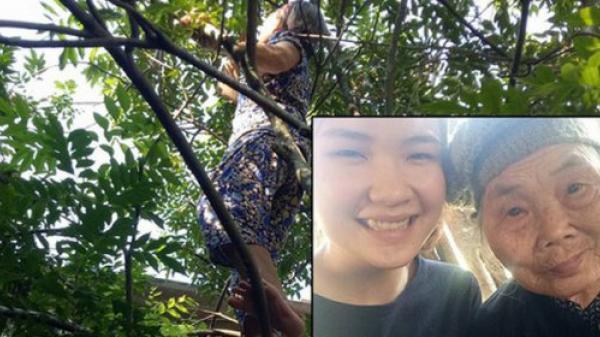 Xúc động hình ảnh bà ngoại 75 tuổi một mình trèo cây thu hoạch quả cho cháu gái