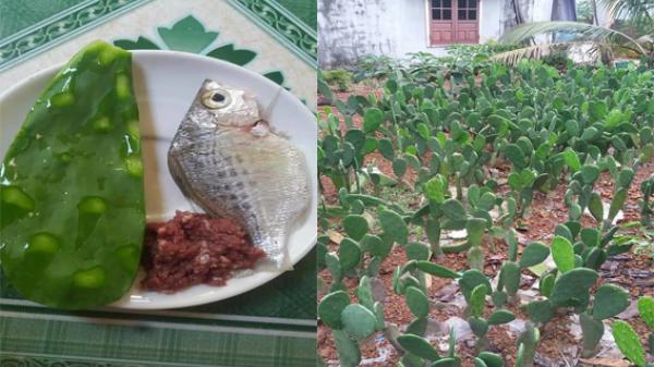 Chuyện thật như đùa: Ở Việt Nam có một vùng đất quanh năm ăn… canh xương rồng