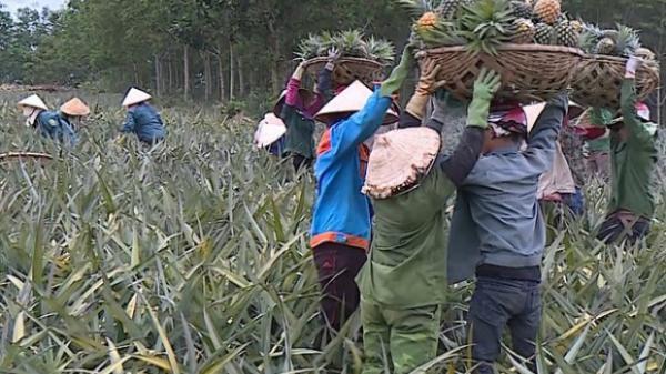 """Dứa gai """"giá rẻ như cho"""" chỉ 1000 – 1500 đồng/kg, người dân lao đao mặc kệ dứa chín thối trên đồng"""