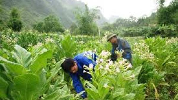 """Hà Quảng (Cao Bằng): Thu mua được 483 tấn thuốc lá, người dân """"hốt bạc"""" nhờ nghề mới"""