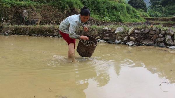 Cao Bằng: Thu nhập cao từ mô hình kết hợp nuôi cá, ốc trong ruộng lúa