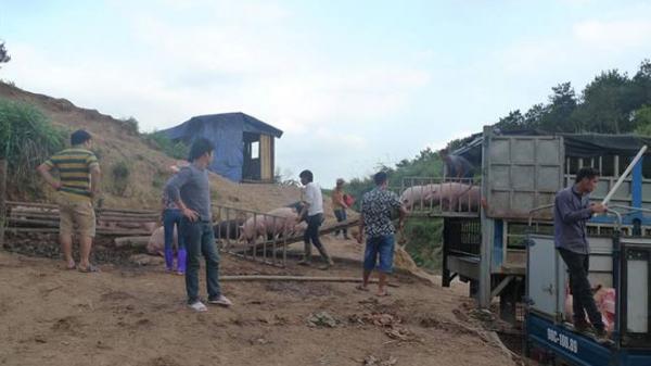 Lạng Sơn: Bắt giữ số lượng lớn lợn Trung Quốc nhập lậu