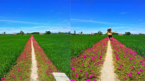 Con đường hoa mười giờ giữa ruộng lúa đẹp quá sức tưởng tượng khiến dân mạng rầm rộ 'truy' địa chỉ để check in