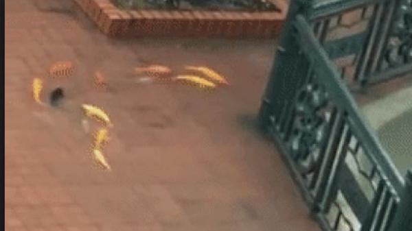 Hải Phòng: Đàn cá vàng nối đuôi nhau bơi giữa sân trường trong ngày mưa ngập lụt