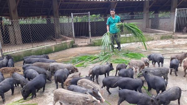 Cảm phục tấm gương lên núi nuôi lợn rừng, thu 2 tỷ đồng/năm