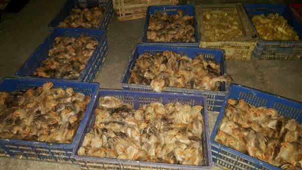 Trà Lĩnh - Cao Bằng: Tiêu hủy hàng nghìn trứng gà nhập lậu từ Trung Quốc