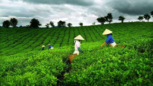 Ngỡ ngàng trước những ngọn đồi chè xanh bát ngát ở Phja Đén Cao Bằng
