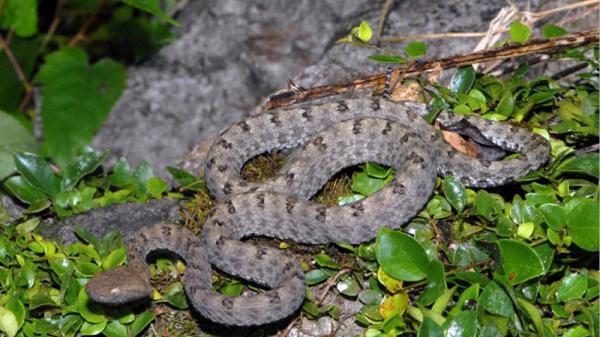 Rắn lục Trùng Khánh - loài mới được phát hiện ở Cao Bằng