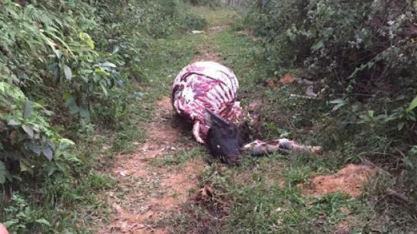 Bàng hoàng phát hiện trâu nhà bị trộm giết thịt chỉ còn trơ xương