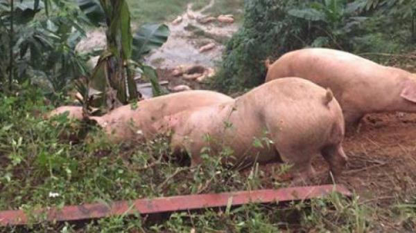 Tài xế bị lật xe chở lợn van xin dân đừng hôi của: Sự thật sốc