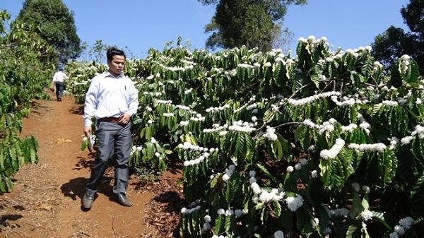 Tây Nguyên 'đau đầu' vì cà phê bung hoa lúc đang thu hoạch