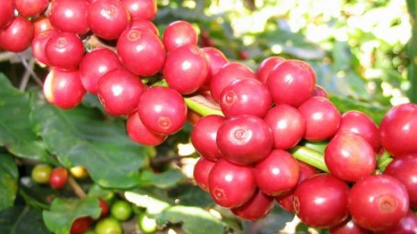 Gửi Đăk Lăk thân yêu những nỗi nhớ khi mùa cà phê chín